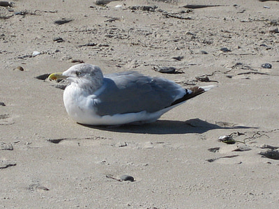 sirály, madár, homokos strand, természet, tenger, tengerpart, Beach