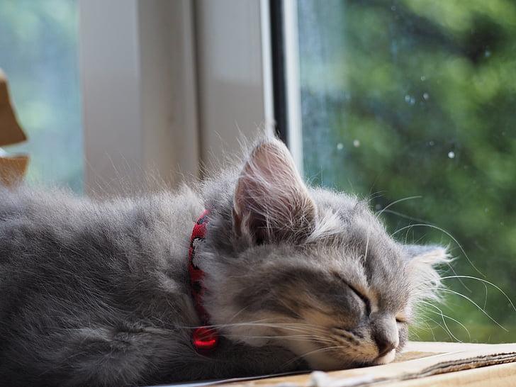 kaķis, aizmigusi, miegs, piemīlīgs, guļošajam, atpūsties, relaksējoša