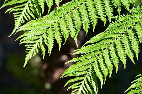 Falguera, planta, fulla, natura, verd, botànica, flora