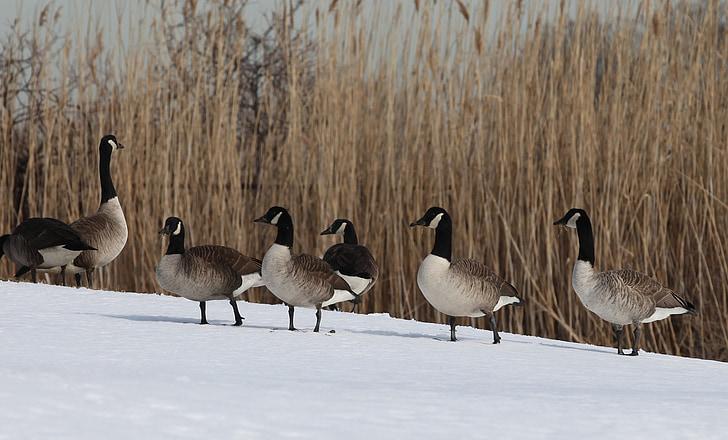 Канада гъски, птици, водолюбивите птици, дива природа, природата, почивка, студено