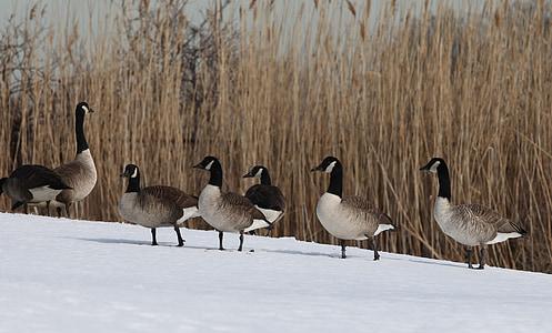ห่านแคนาดา, นก, ปีก, สัตว์ป่า, ธรรมชาติ, พักผ่อน, เย็น