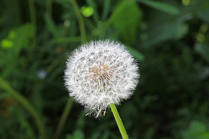 bloem, zaad, Paardebloem, Wild flower