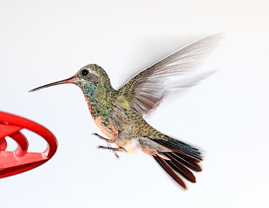 hummingbird, flying, feeder, wildlife, nature, flight, wings