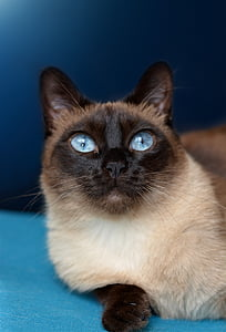 cat, siamese cat, blue eye, pet, breed cat, siamese, siam