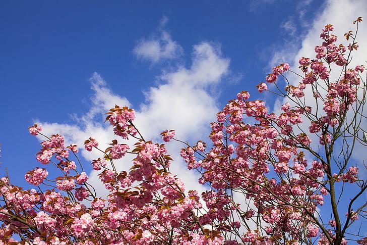 cirerer, Himel, núvols, primavera, flor del cirerer, cirera, flor