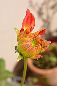 flor, dàlia, taronja, flor de dàlia, natura, planta, flor