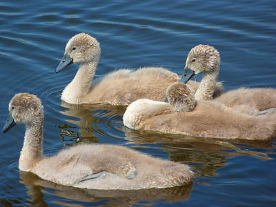 swans, chicks, young animals, water bird, water, bird, swan