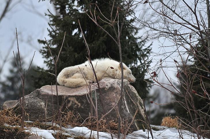 wolf, zoo, sleeping, wildlife, animal, mammal, white