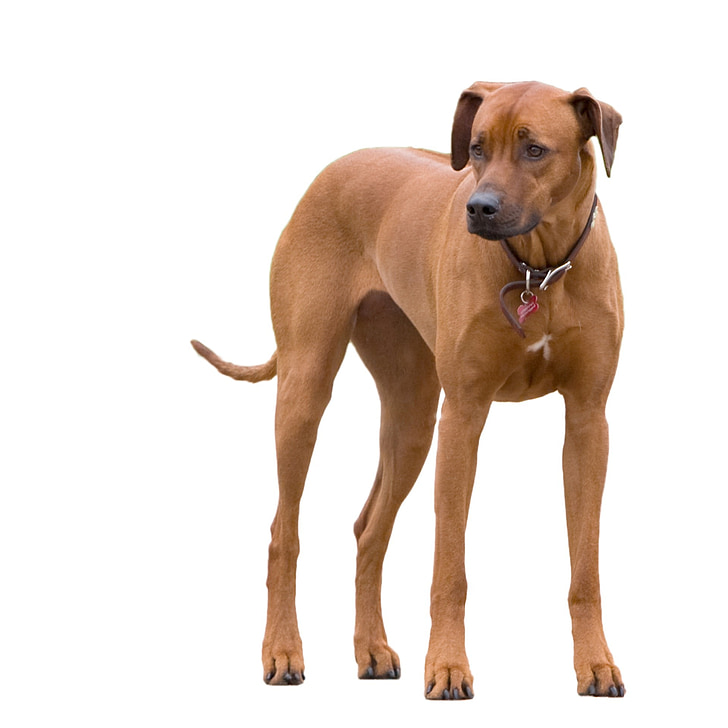 pes, vyskúšali, plemena Rodézsky ridgeback, zviera, veľký, PET, psie