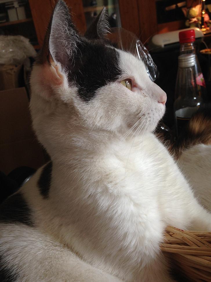 Mladý bacuľaté čierna mačička