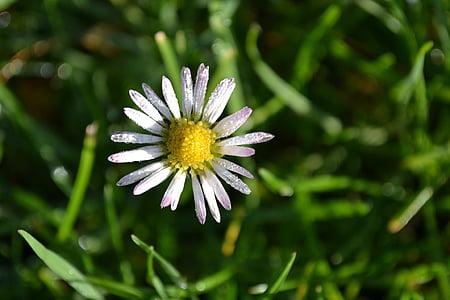 daisy, flowers, white, grass, autumn, nature, white flowers