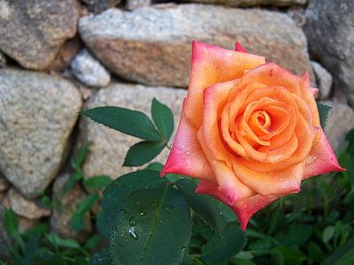 Πορτοκαλής αυξήθηκε, λουλούδι, Κήπος, Ευεξία, άνθιση
