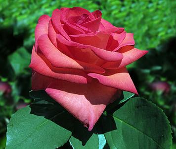 Rosa Baccara, Rosa, rosa vermella, vermell, flor rosa, flors, flors roses