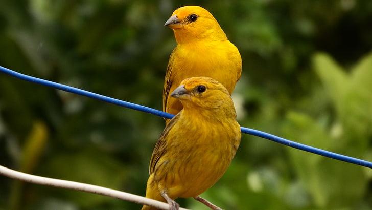канарчета, тропически птици, птица, птиченце, природата