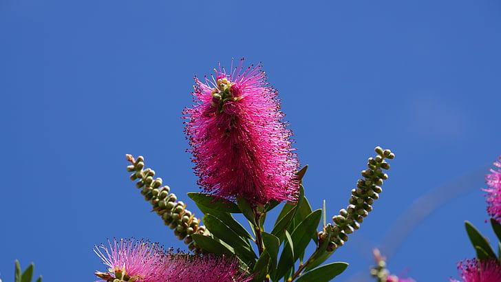 grm, cvijet, cvatu, perač suđa, Australija