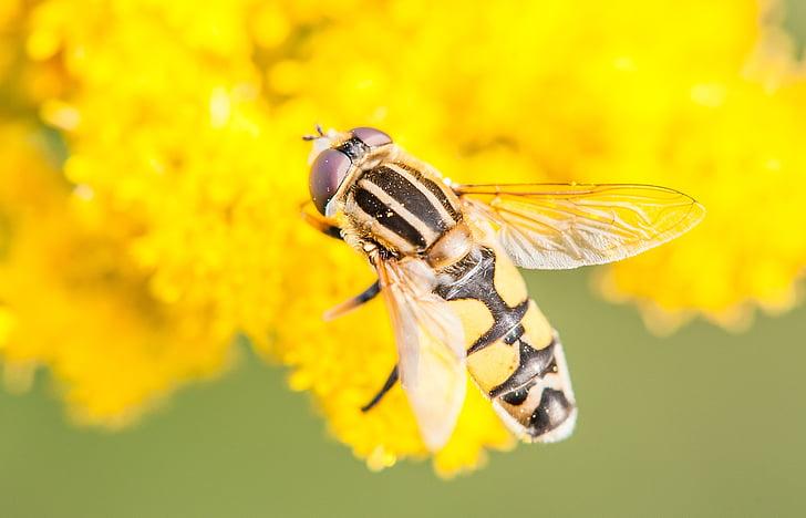 hoverfly, kukainis, aizveriet, makro, dzeltena, spārnu, Hitīns