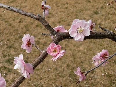 plommon, Plum blossoms, våren, Rosa, gräsmatta
