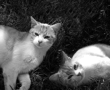 gato, Tomcat, gatos, animal, gato doméstico, animales de compañía, lindo
