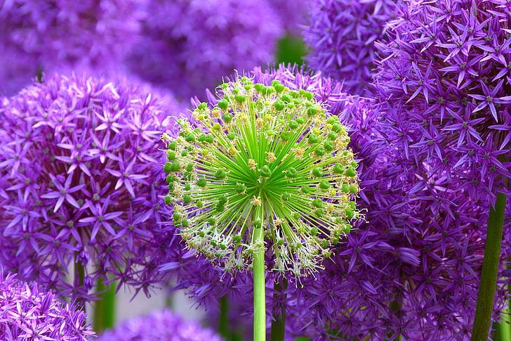 flor, flor, planta, flors, porpra, violeta, natura
