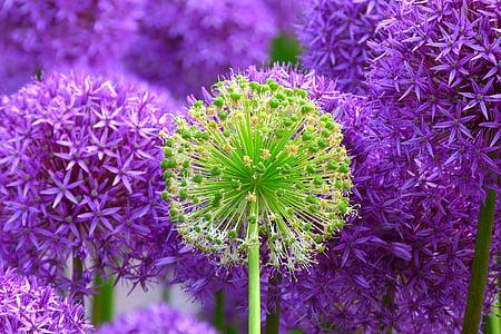 flor, floración, planta, flores, púrpura, violeta, naturaleza