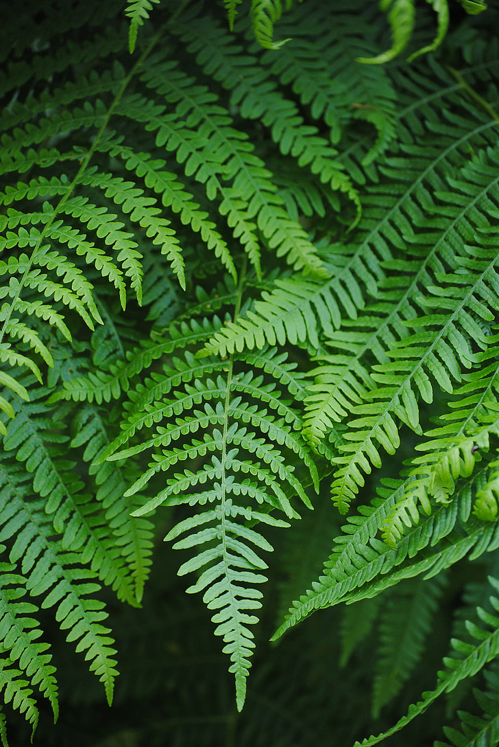 fern, fiddlehead, green, plant, forest