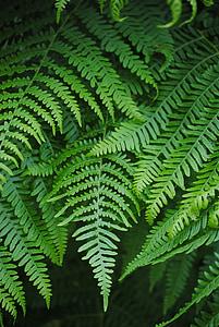 papraď, fiddlehead, Zelená, rastlín, Forest