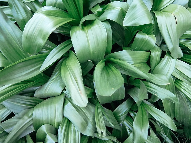 leaves, lilies of the valley, green, background, desktop, nature, green leaves
