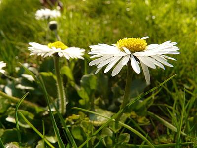 daisy, plant, garden, white, nature, flower, summer