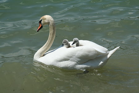 swan, lake, waters, bank, chicken, baby swans, mother