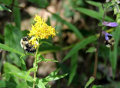 abellot, flor, Bumble, insecte, groc, colors, herba