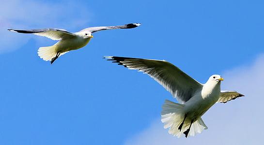 Linnut, lokkien, Luonto, siipi, lokki, Wildlife, Flying