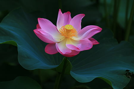 gorgeous beautiful, lotus, huashan, flower, petal, nature, pink color