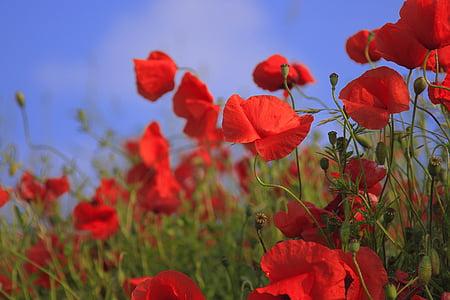 Prado, amapola, hierba, campo, verano, flor, naturaleza