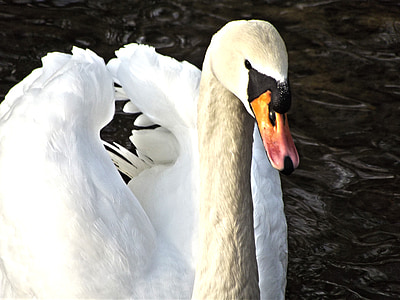 swan, water bird, swans, pride, bird, water, white