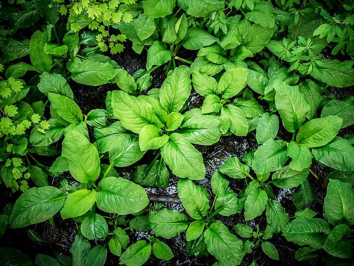 fulla ampla gran, fulles de la planta, verd exuberant de color, natura, fullatge, planta gran, fulles verd