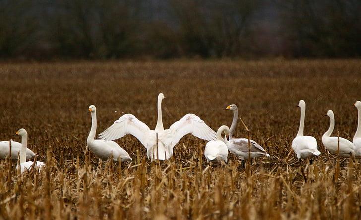 Лебедь, птица, Прилетная птица, Лебедь-кликун, стая птиц, лебеди, воды птицы