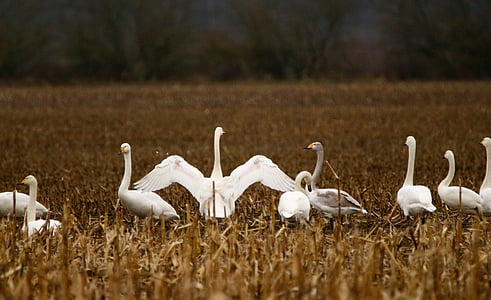 swan, bird, migratory bird, whooper swan, flock of birds, swans, water bird