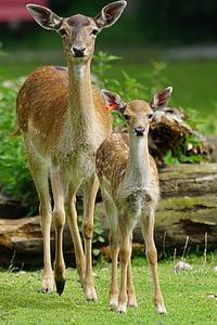 휴 경지 사슴, 미상, 폰은, 허쉬, 젊은, 포유 동물, dama dama