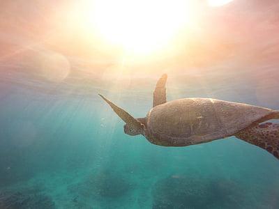 Фотографія, сірий, черепаха, підводний, море, Рептилія, водні