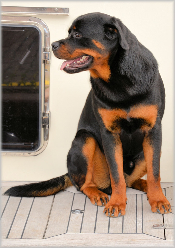 pes, psy, PET, Holandsko, model, Vonkajší, pózovanie
