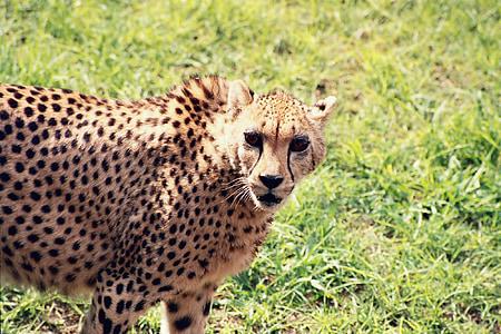 cheetah, animal, wild, predator, cat, africa, wildlife