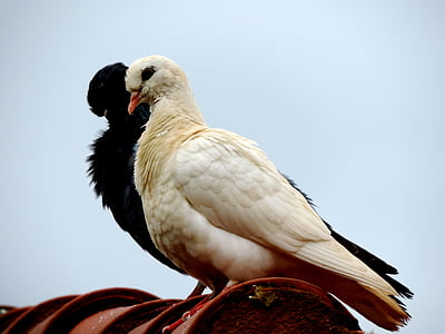 dove, roof, bird, birdie, dom, white, black