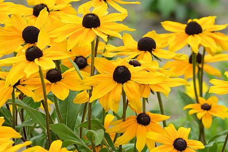 p müts, kollane, lilled, särav coneflower, lilleaed, suvel, aia taimede