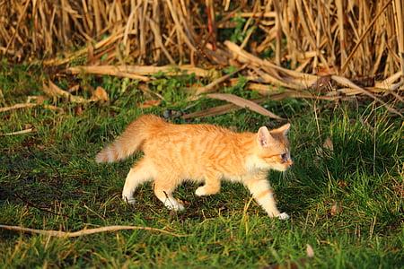 katten, kattunge, katten baby, ung katt, rød katt