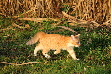 котка, коте, котка baby, млад котка, червена котка
