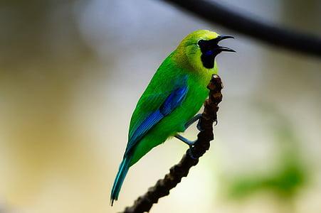 πουλί, άγρια φύση, μακροεντολή, κινηματογράφηση σε πρώτο πλάνο, υποκατάστημα, κλαδί, πέρκα