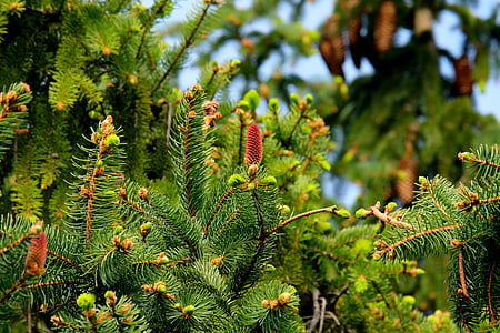 fir, christmas tree, tree, nature, fir needle, fir green, green
