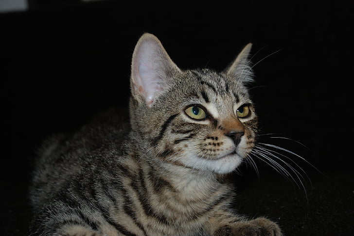 sam jacks, cat, cats, pet, gata, cat face