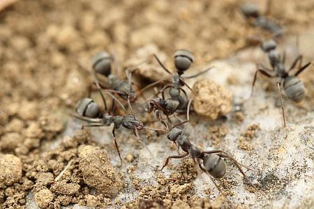 Mravenec, hmyz, makro, Zavřít, Detailní záběr, půda, Příroda