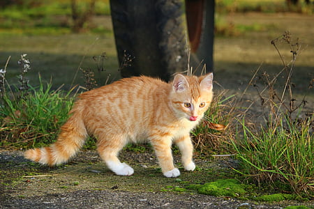 cat, kitten, red mackerel tabby, cat baby, young cat, red cat, domestic cat